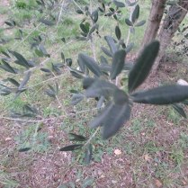 Leaves on an olive tree.