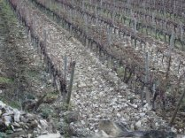 Within the grape vines. Notice the rocks. They filter water.