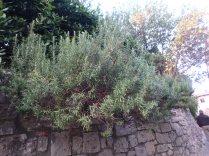 Rosemary. Divine aroma