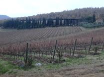 Grape vines in Chianti