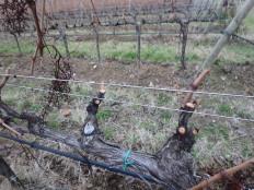 Pruned vines at Castello D'Albola