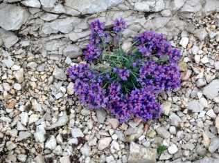 Dolomites flowers.