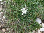 Beautiful Edelweiss.
