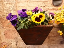 Viole del Pensiero. (doesn't that sound better than 'Pansy'?)