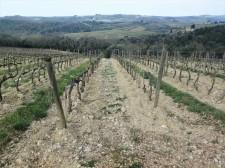 Grape vines