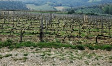 Training the vines of the Ricasoli vineyards, outside of Castle Brolio