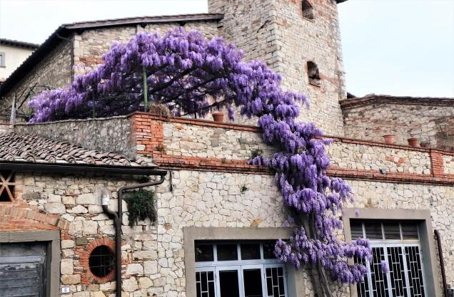 Beautiful wisteria