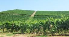 The grapevines of Fontana Fredda