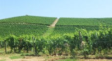 The grapevines of Fontana Fredda