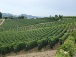 Grapevines of Barolo