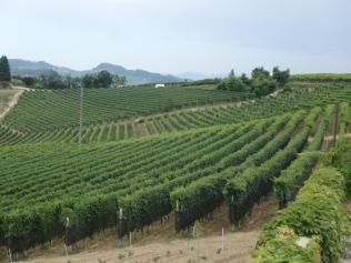 Grapevines of Barolo