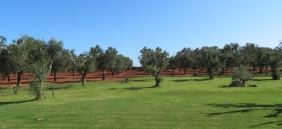 The grounds of the masseria. Rows and rows of olive trees.